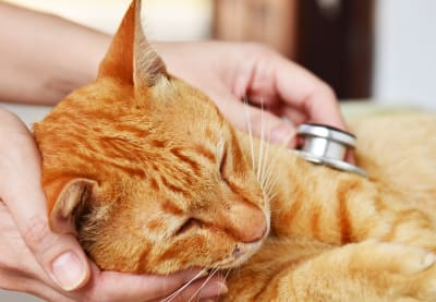 Pneumonia in Cats | Clemmons Vet