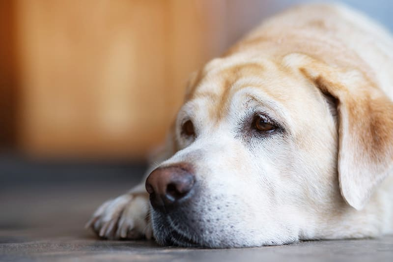 Lung Cancer Symptoms in Dogs | Clemmons Vet
